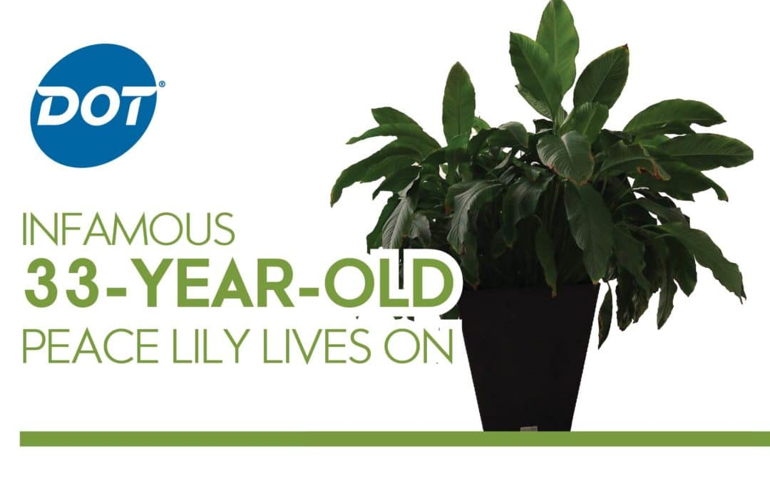 Infamous 33-Year-Old Peace Lily Lives On at Dot Foods Mt. Sterling